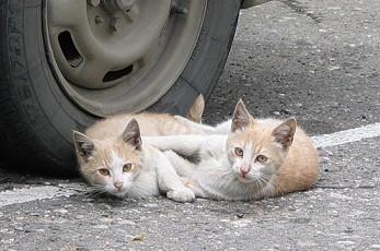 Как сделать чтобы 2 кошки ужились