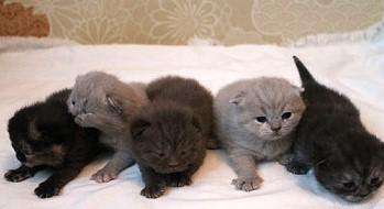 Британские коты саратове
