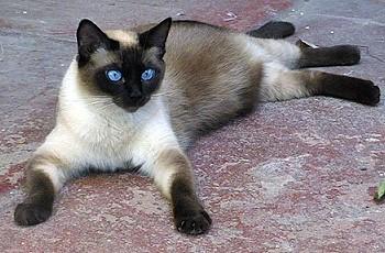 Продолжительность жизни кота сиамского