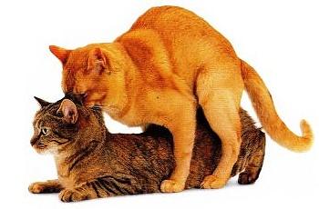Кошка и кот спаривание видео